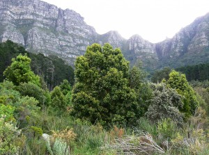 Curtisia_dentata_-_Assegai_tree_-_Table_Mountain_slopes_5