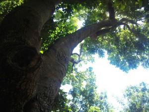 1_Assegai_tree_-_Curtisia_dentata_-_afromontane